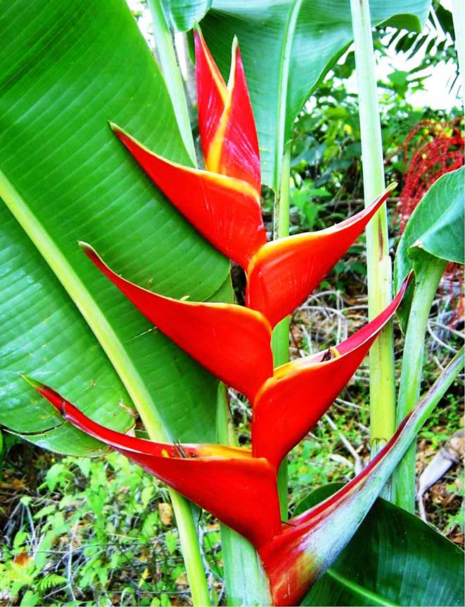 amazon rainforest plants list. these flowers come in many sizes and colors are shaped such a way that only few birds can reach them for nectar they found rainbow amazon rainforest plants list h